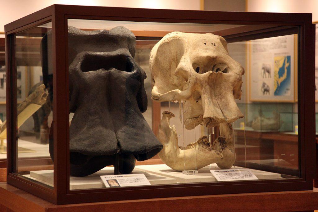 左:ナウマンゾウ 右:アジアゾウ