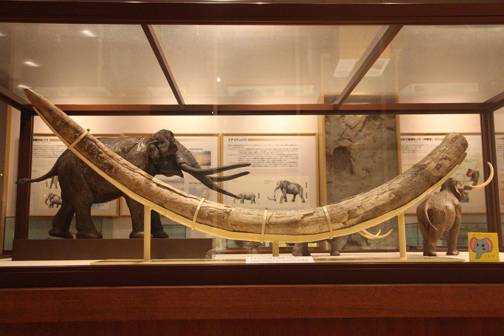 ナウマンゾウのキバ化石
